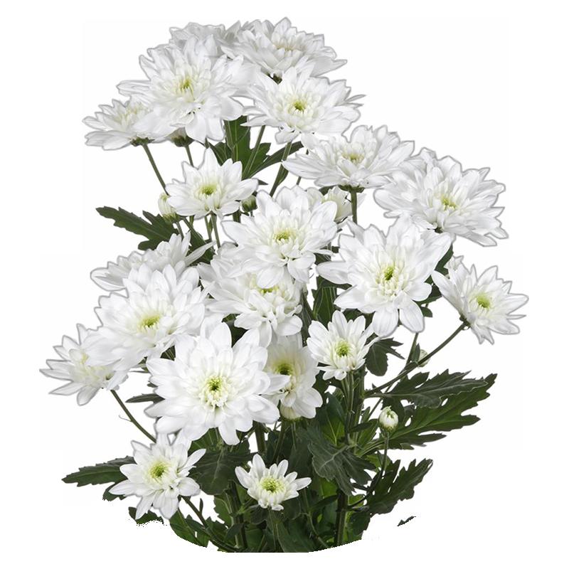 Хризантемы белые 5 штук