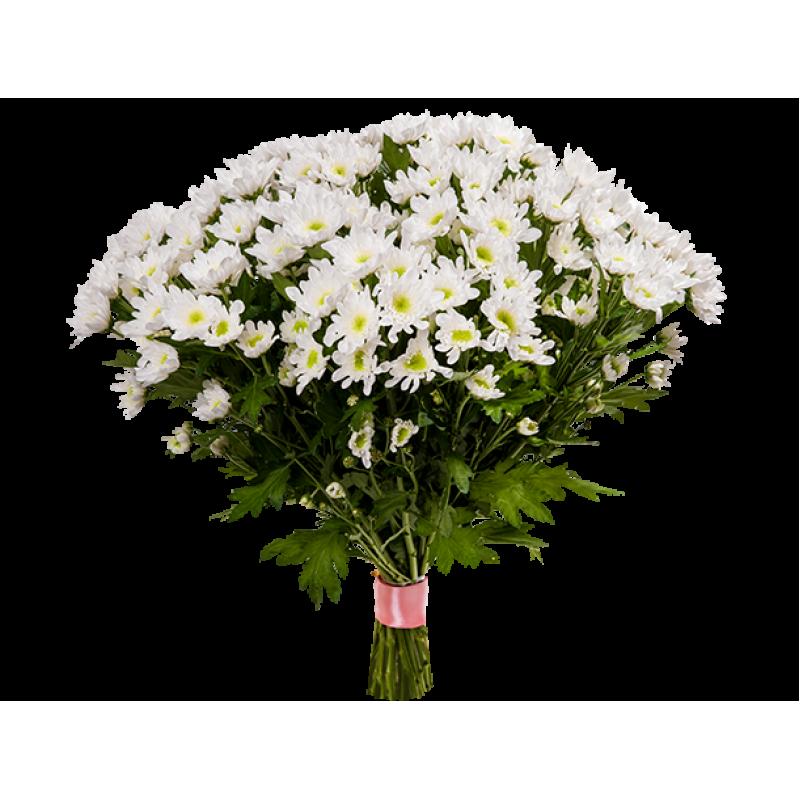 Хризантемы белые 51 штука