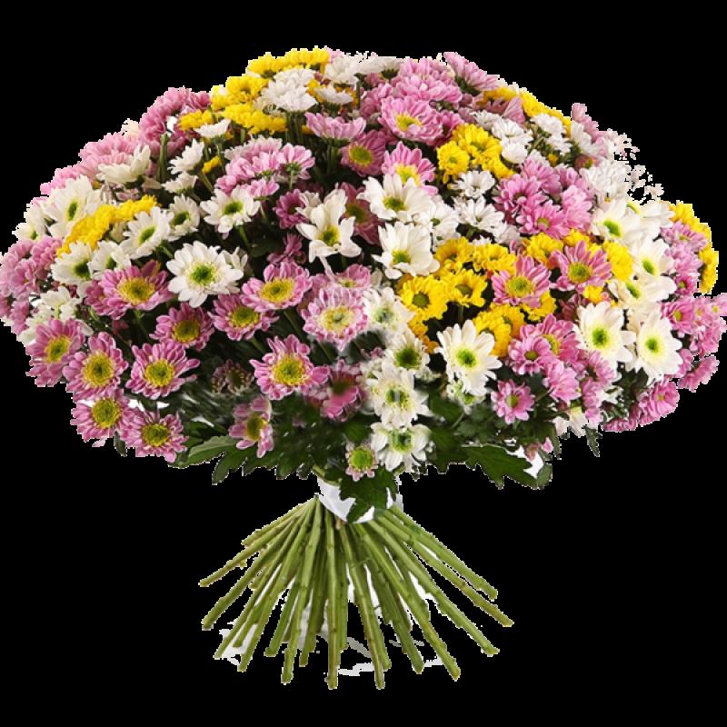 Хризантемы микс 75 штук