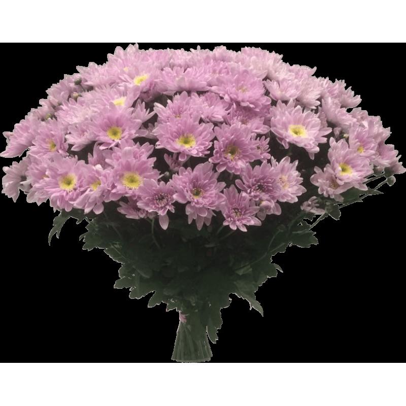 Хризантемы розовые 51 штука