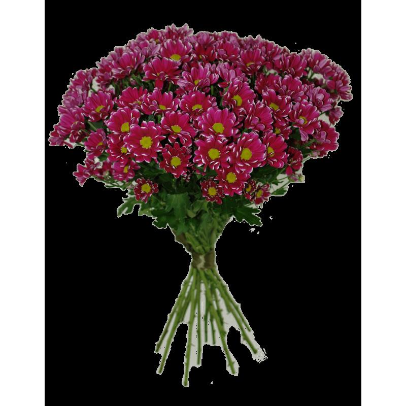 Хризантемы сиреневые 51 штука