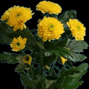 Хризантемы желтые 5 штук