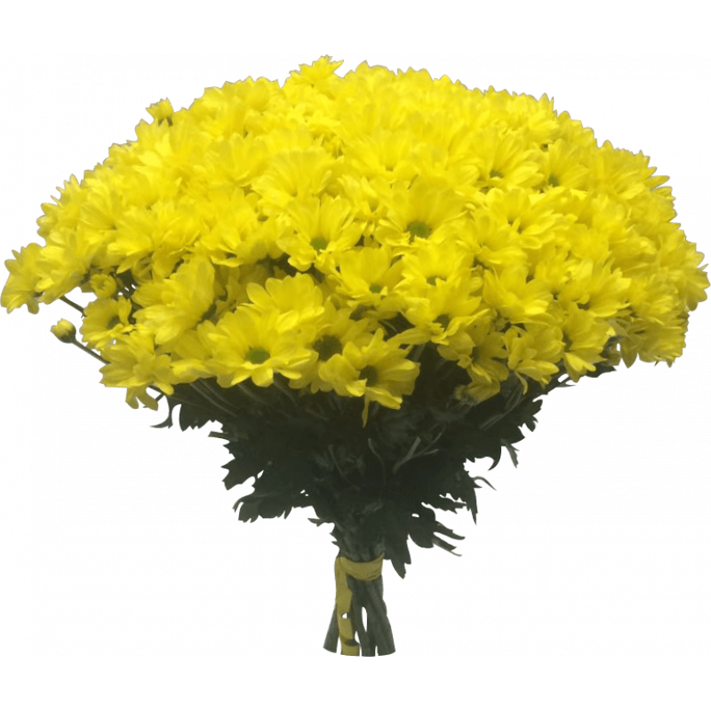 Хризантемы желтые 75 штук
